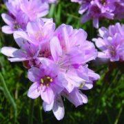 Tengerparti Pázsitszegfű (Armeria maritima – Thrift) Bailey virágeszencia 10ml.