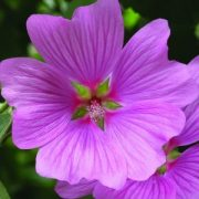 Madármályva (Lavatera thuringiaca - Tree Mallow) Bailey virágeszencia 10ml.