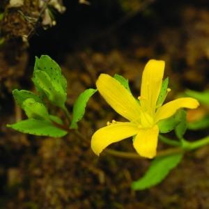 Heverő orbáncfű (Hypericum humifusum - Trailing St John's Wort) Bailey virágeszencia 10ml.