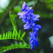 Kaszanyűg bükköny (Vicia cracca - Tufted Vetch) Bailey virágeszencia 10ml.