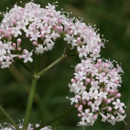 Macskagyökér (Valeriana officinalis – Valerian) Bailey virágeszencia 10ml.