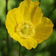 Sárga tibetimák (Meconopsis cambrica – Welsh Poppy) Bailey virágeszencia 10ml.