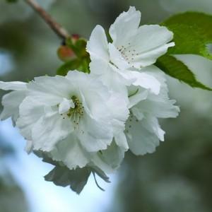 Japáncseresznye (Prunus taihaku – White Cherry) Bailey virágeszencia 10ml.