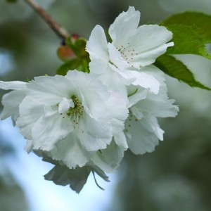 White Cherry Bailey flower essence 10ml.