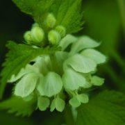 Fehér árvacsalán (Lamium album - White Dead Nettle)  Bailey virágeszencia 10ml.