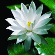 Fehér tündérrózsa (Nymphaea alba – White Lotus) Bailey virágeszencia 10ml.