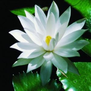White Lotus Bailey flower essence 10ml.