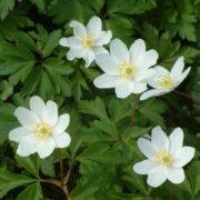 Berki szellőrózsa (Anemone nemorosa - Wood Anemone) Bailey virágeszencia 10ml.