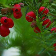 Tiszafa (Taxus baccata – Yew) Bailey virágeszencia 10ml.