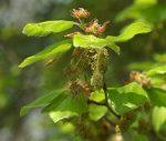 Beech (3. Bükkfa) virágeszencia