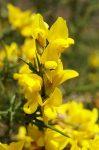 Gorse (13. Sülzanót) virágeszencia