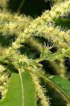 Sweet Chestnut (30. Szelídgesztenye) virágeszencia