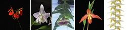 Active Serenity összetett orchidea eszencia