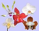 Love Beyond Love összetett orchidea eszencia