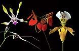 Memory Enhancer összetett orchidea eszencia