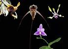 Solus összetett orchidea eszencia