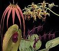 Soul Shield+ összetett orchidea eszencia