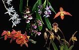 True Beauty összetett orchidea eszencia