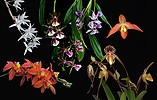 True Beauty orchid combination essence