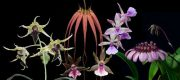 Revelation összetett orchidea eszencia