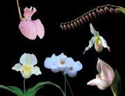 Coming Home összetett orchidea eszencia