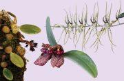 Revitalise összetett orchidea eszencia