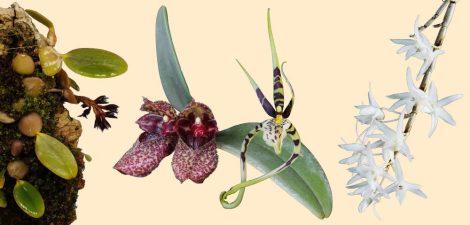Sympathetic (P) összetett orchidea eszencia