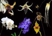 Immediate Relief összetett orchidea eszencia