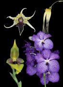 Life Circle Renewal összetett orchidea eszencia