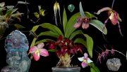 Shield of Light összetett orchidea eszencia