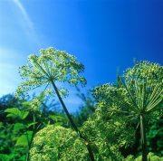 Angyalgyökér (Angelica archangelica)