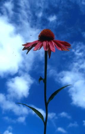 Bíbor kasvirág (Echinacea purpurea)