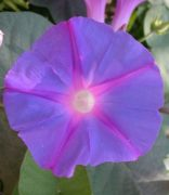 Bíboros hajnalka (Ipomea purpurea)