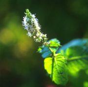 Borsmenta (Mentha piperita)