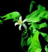 Citromfa (Citrus limonum)