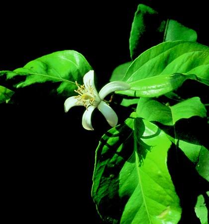 LEMON - Citrus limonum