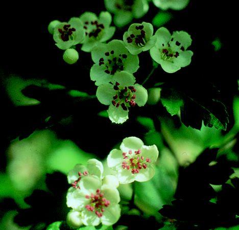 HAWTHORN-MAY - Crataegus oxyacantha