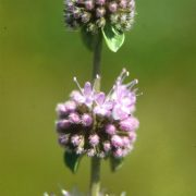 Csombormenta (Mentha pulegium)