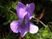 Erdei ibolya (Viola hirta)