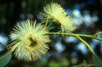 Eukaliptusz (Eucalyptus globulus)