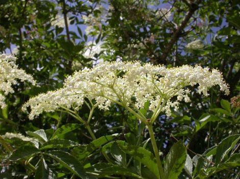 Feketebodza (Sambucus nigra)