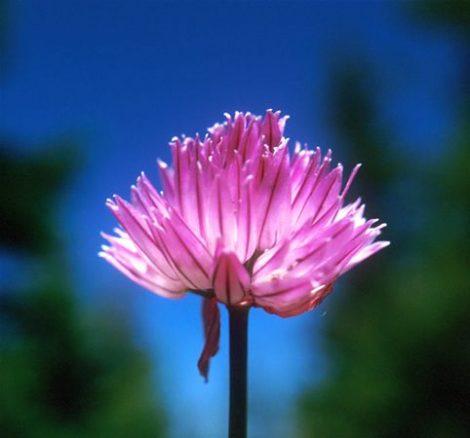 WILD GARLIC - Allium sativum