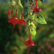 Fukszia (Fuchsia hybrida)
