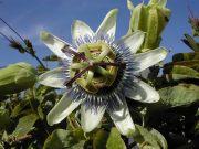 PASSIONFLOWER - Passiflora sp.