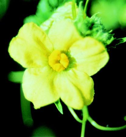 WATERMELON - Citrullus vulgaris