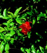 Gránátalmafa (Punica granatum)
