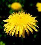 Gyermekláncfű (Taraxacum officinalis)