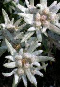 Havasi gyopár (Leontopodium alpinum)