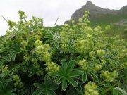 Havasi palástfű (Alchemilla alpina)
