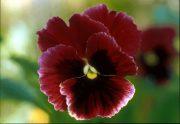 Háromszínű árvácska (Viola tricolor)